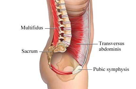 Transversus Abdominus Abdominal Muscles Anatomy